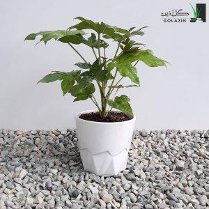 گیاه آرالیا با گلدان سرامیکی