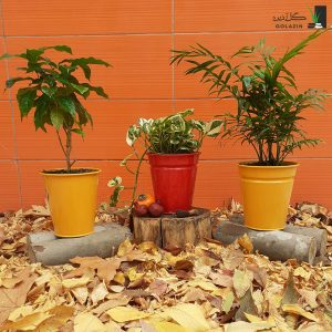 مجموعه شامادورا پتوس یخی گیاه قهوه