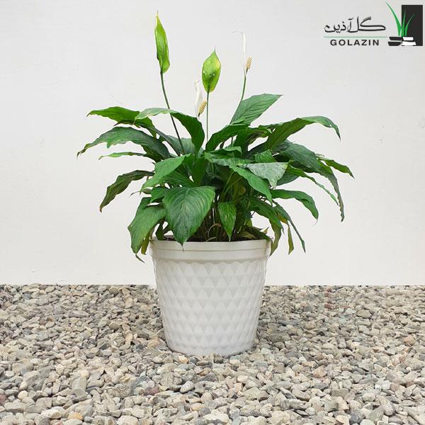 گل اسپاتی فیلوم