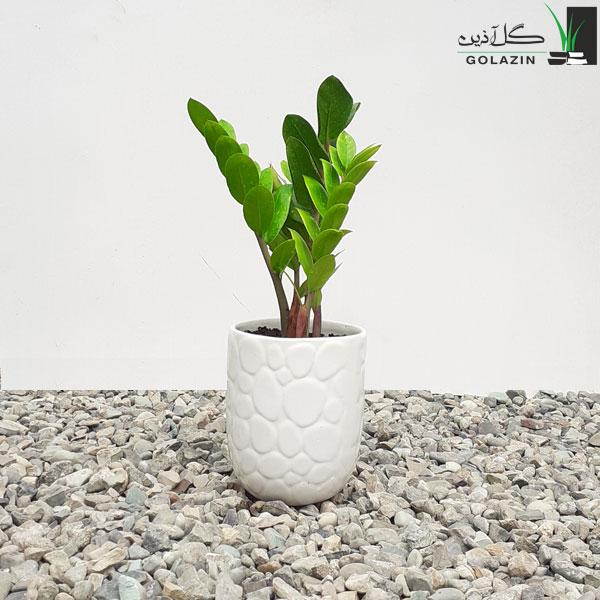 زاموفیلیا سبز یا گلدان سرامیکی